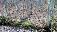 White-tailed Deer, Doe Crossing Stream, Stops, Sniffs Grass