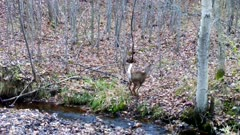 White-tailed Deer, Doe Jumps Across Stream Then Departs Up Hill