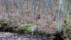 White-tailed Deer, Small Buck, Crosses Stream in Autumn Woods