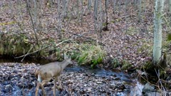 White-tailed Deer, Buck, Walks Toward Stream, Drinks