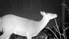 White-tailed Deer, Doe Feeding at Night, Turns Looks At Camera