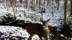 White-tailed Deer, Buck Feeding on Hillside, Turns, Walks Back