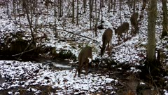 Group of Five White-tailed Deer Crossing Stream in Winter, Some Reluctant to Cross