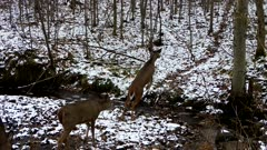 Group of Five White-tailed Deer Crossing Stream in Winter, Last Deer Lagging, Jumps