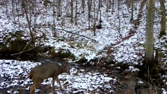 Single White-tailed Deer, Small Buck, Crossing Winter Stream