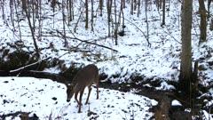 White-tailed Buck Crosses Snowy Stream Bank