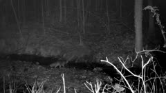 Gray Fox, Crossing Stream at Night