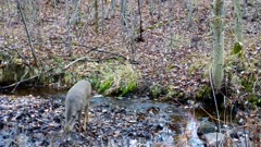 White-tailed Deer, Doe, Crossing Stream, Looks Around, Exits