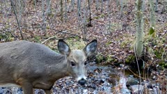 White-tailed Deer, Doe, Picks Head Up Into Frame, Sniffs Brush, Looks to Side, Ears Twitching