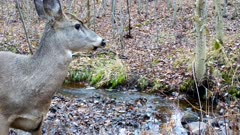 White-tailed Deer, Doe, Browsing, Looks To Side