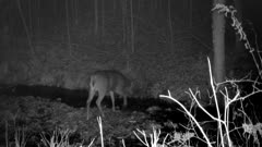 White-tailed Deer, Buck with Only One Antler, Crosses Stream At Night