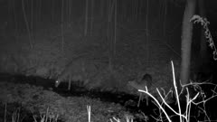White-tailed Deer, Drinking From Stream At Night