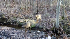 White-tailed Deer Approaching, One Crosses Stream, Other Looks Back at Another Deer
