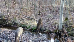 White-tailed Deer Drinking From Stream, Licks Lips