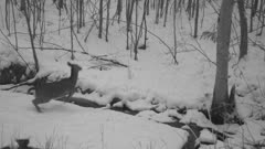 White-tailed Deer at Dusk, Leaping Over Frozen Stream