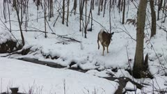 White-tailed Deer, Leaping Across Frozen Stream, Then Up Hill in BG