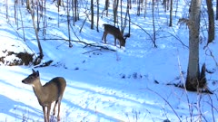 White-tailed Deer, Doe and Fawn in Winter, Doe Cautious, Turns, Leaves