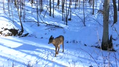 White-tailed Deer, Fawn in Winter, Cautiously Crossing Frozen Stream