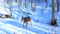 White-tailed Deer, Doe Crossing Frozen Stream, Cautious, Looks Behind