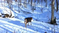 White-tailed Deer Running, Jumping Across Stream in Winter, Runs Up hill