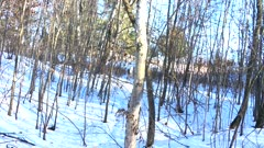 White-tailed Deer Running Uphill Through Wooded Setting