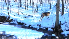 White-tailed Deer Running, Jumping Across Stream in Winter, Runs Up Hill
