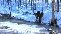 Pair of White-tailed Deer Drinking From Stream in Winter