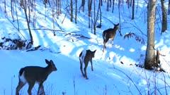 White-tailed Deer, Running Single File, Slipping on Ice, Crossing Frozen Stream