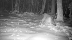 Coyote In Snow, Looks Around, Down