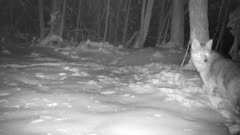 Coyote In Snow, Looks Around, Moves Off