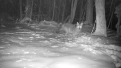 Coyote In Snow, Moves to BG, Looks Up