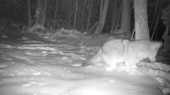 Coyote In Snow, Picks Up Large Piece Of Food, Drops It