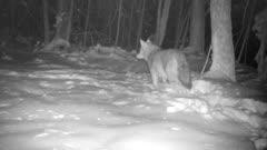 Coyote In Snow, Turns, Walks Toward Back, Looks