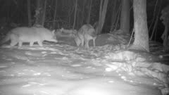 Coyote Pair In Snow, Sniffing, One Defecates