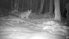 Coyote In Snow, Looking, Begins To Dig