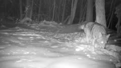 Coyote In Snow, Turns