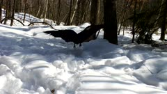 Raven Trying to Intimidate Feeding Red-tailed Hawk