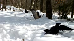 Red-tailed Hawk Chasing Off Ravens, Trying To Protect Carcass in Snow