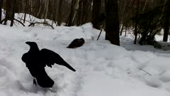 Red-tailed Hawk Protecting Carcass in Snow, Ravens Enter