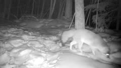 Gray Fox at Night, Sniffing Snowy Ground