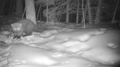 Large Fisher in Snow, Night Shot