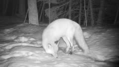 Red Fox at Night, Sniffing Snow, Moving Off