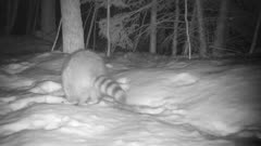 Raccoons at Night, Three Searching For Food, Looking Into Snow Holes