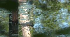 American Bullfrog Sitting in Water in Pond