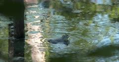 American Bullfrog in Pond, Calling, Mating Behavior