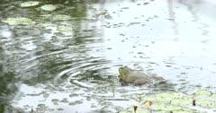 Large American Bullfrog in Pond, Calling