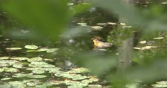 Green Frog Calling From Pond, Water