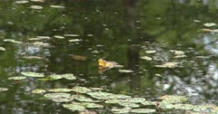 Green Frog Sitting in Pond, Calling