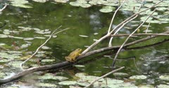 Green Frog Resting on Branch Above Water in Pond