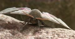Modest Sphinx Moth, Front View
